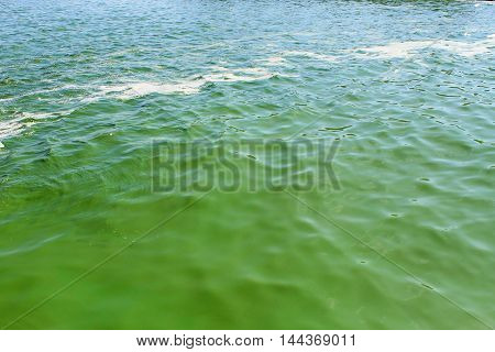 Blooming green water. Green algae polluted river