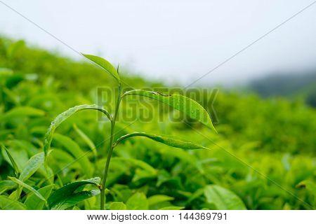 Close up of tea leaves in tea plantations at Cameron Highlands Malaysia.