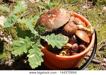 The full bucket with mushrooms with oak leaves