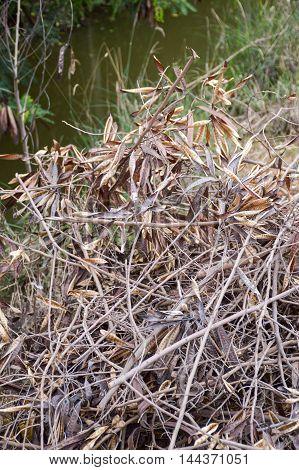 close up dry acacia tree on the ground