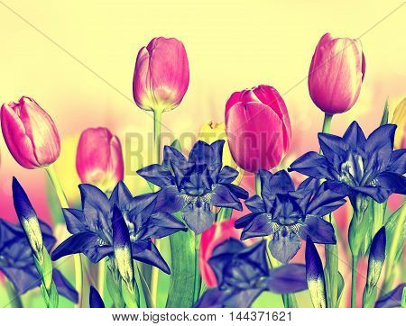 pink yellow flowers tulips and blue irises
