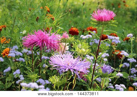 Pink and violet aster autumn flowers over green background
