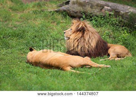 It is time for mating and amorous meetings for a couple of lions