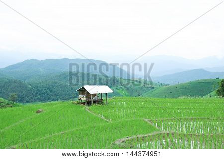 cottages on green rice field with mountain background at pa bong piang village, Chiang Mai, Thailand.