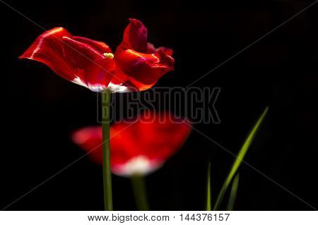 Red tulips and green leaves sunlit on a dark background