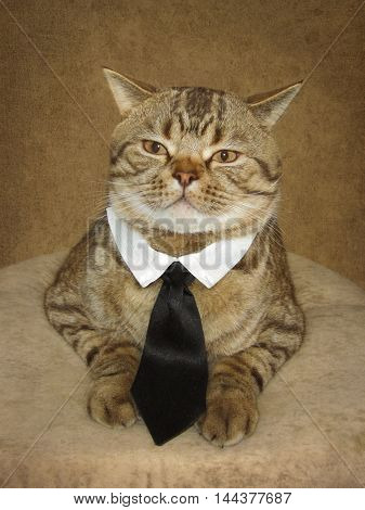 A serious handsome and big cat is sitting on a pillow. He is wearing tie and collar.