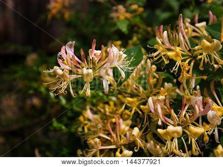 Plant Lonicera, pretty flowers with beautiful fragrances.