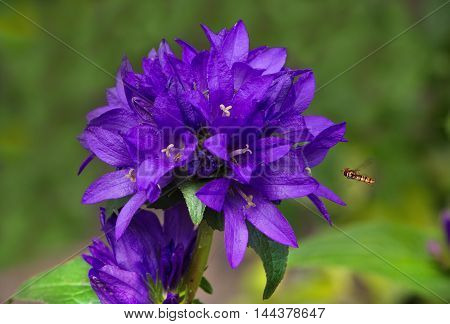 Beautiful blue-violet flowers of Campanula Zvonek and wasp