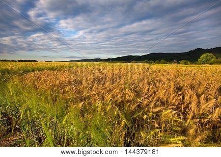 Ripening grain fields and dense clouds. Moravian landscape Sudice.