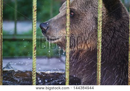 A portrait of a brown bear with water drops.