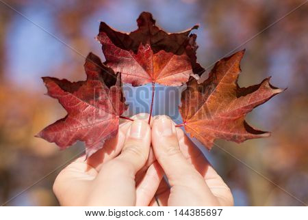 Red Autumn Leaves In Womans Hand