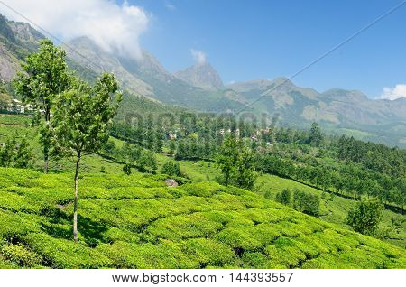Tea Plantation in the Cardamam mountains. Munnar Kerala India
