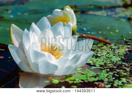 Flower of white lily or lotus with dew drops in a pond closeup. Selective focus.