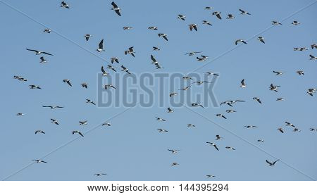 Large flock of white-eyed gull seabirds endemic to the Red Sea hovering in the sky on windy day