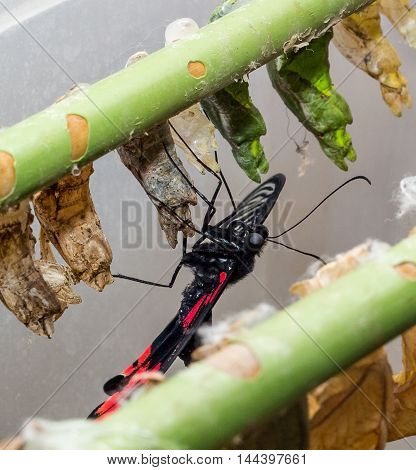 Tropical butterfly chrysalis hanging on the branches and butterfly Papilio Rumanzovia sailfish Rumyantsev .