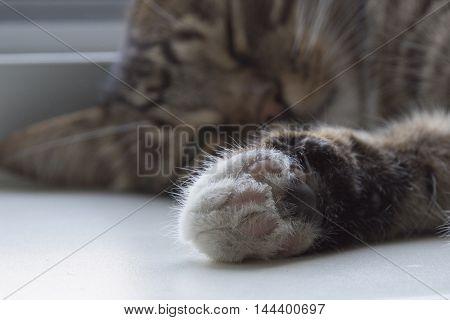 Furry cat paw closeup. My cute cat.