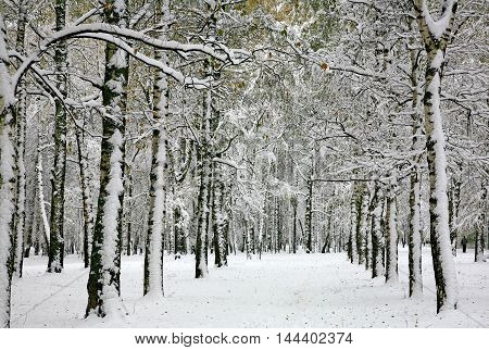Russian winter - birch forest in the snowy storm