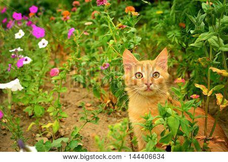 Red kitten in the bright summer flowerbed.