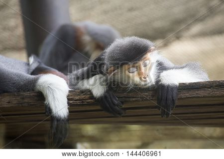 The Family of Red-shanked douc langur sleeping