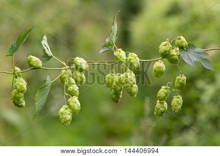 Hops (Humulus lupulus) flowers on vine. Green pendulous flowers on climbing plant in the family Cannabaceae hanging from stem