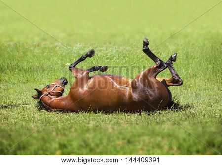 brown horse lying on his back in the green grass