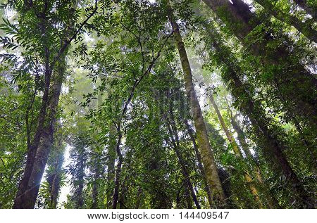 Tall trees of an Australian misty temperate rainforest, Dorrigo National Park, New South Wales
