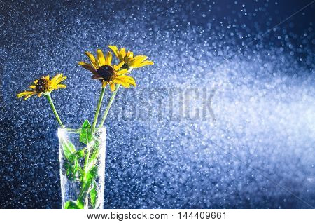 Yellow flowers in a glass vase with water spray in a beam of light on a dark background. Images for backgrounds and printed materials.