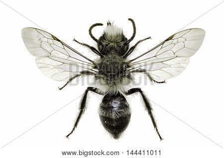 Grey Mining Bee on white Background  -  Andrena cineraria (Linnaeus, 1758)