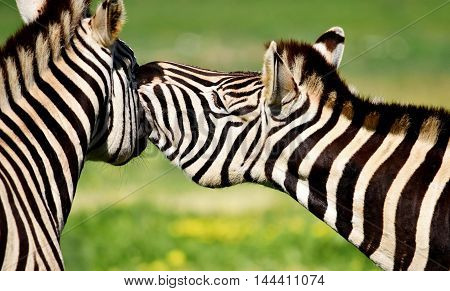 Close up of two Zebras on green meadow