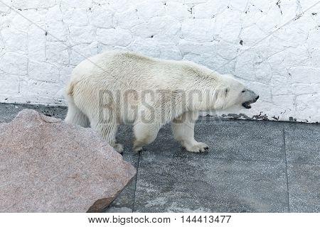 big polar bear standing behind a large stone