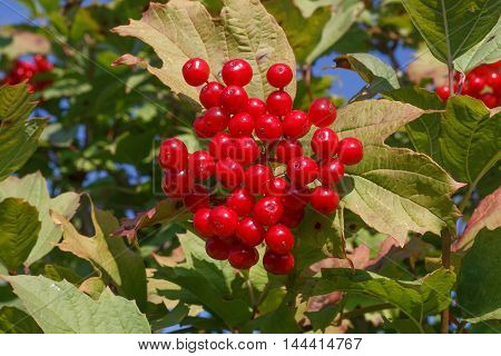 Bunch of Viburnum red summer close-up leaves