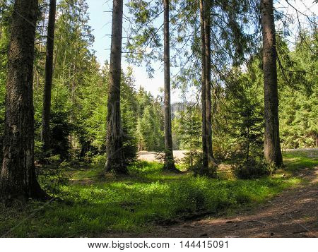 The road runs among fir trees in Carpathian forest