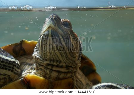Big green ocean turtle in aquarium