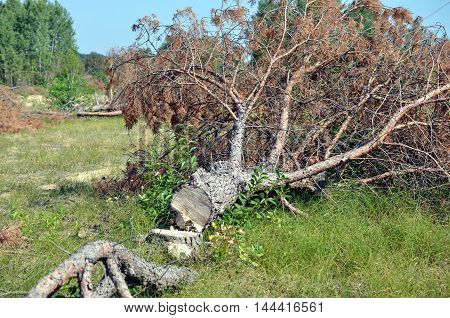 logged dry pine tree in green heather landscape