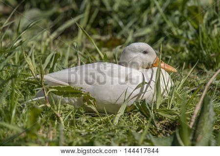 Pekin duck sitting on the grass by a river