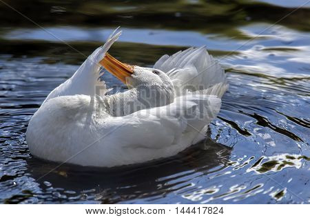 Pekin Duck, In The River Preening And Washing Itself