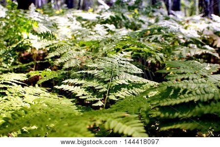 forest fern plant grows in shady places in the meadows and the trees