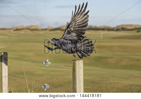 Rook Flying From  A Post, Close Up