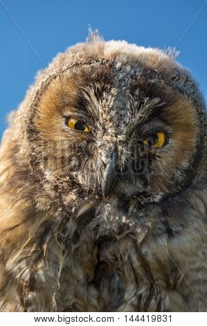 Close Up Of Face And Big Yellow Eyes Of A Young Scops Owl