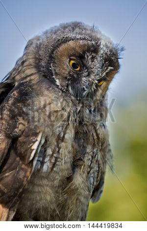 Close Up Of Young Scops Owl With Bright Yellow Eyes