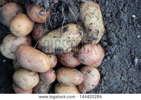 Freshly dug potatoes lying on the ground