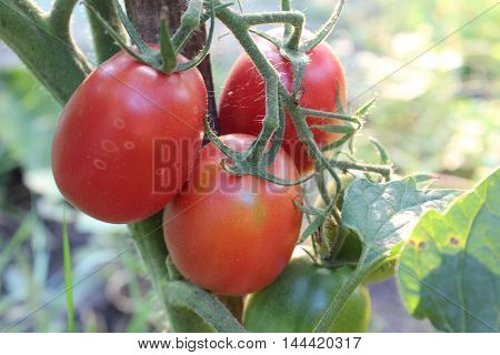 Red organic tomatoes are hanging on branch of bush