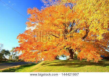 Autumn leaves fall color orange Maple tree