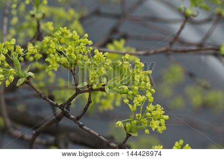 Maple branch with green inflorescence close up
