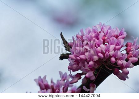 blue background with pink tsertsis flowers closeup