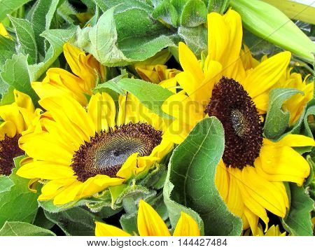 Sunflower on bazaar in Tel Aviv Israel