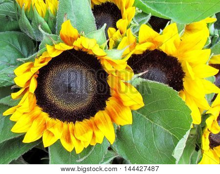 The Sunflower on bazaar in Tel Aviv Israel