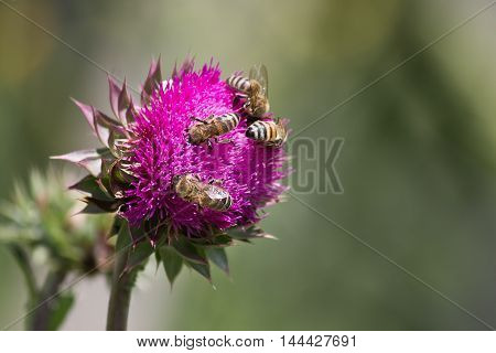 bees collect nectar from a thistle flower closeup