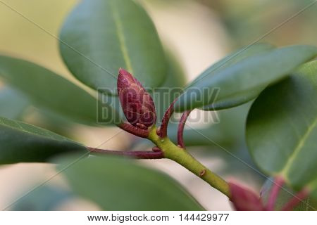 Closeup of one rhododendron bud in garden