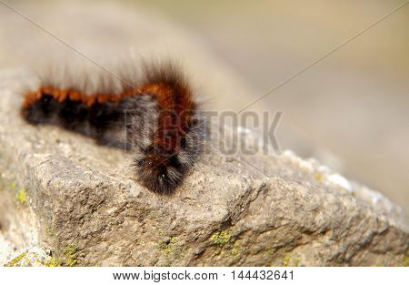 Big brown hairy caterpillar sleeping on a rock